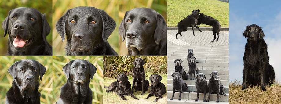 WebSite-Banner-2016-Labradors-in-Training